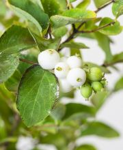 Schneebeere White Hedge, Symphoricarpos doorenbosii White Hedge