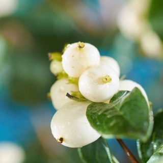 Schneebeere White Hedge / Symphoricarpos doorenbosii White Hedge