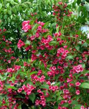 Weigelie Red Prince, Weigela Red Prince