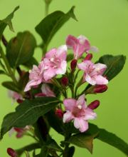 Rosa Weigelie, Weigela florida