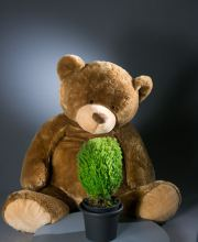 Lebensbaum Teddy, Thuja occidentalis Teddy