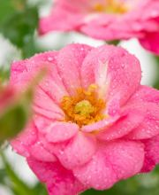 Rose Lovely Fairy