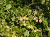 Stachelbeere Mucurines, Ribes uva-crispa Mucurines