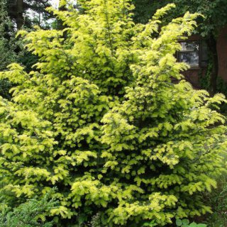 Straucheibe Washingtonii / Taxus baccata Washingtonii