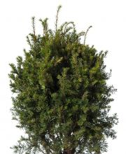 Eibe Brownii, Taxus media Brownii