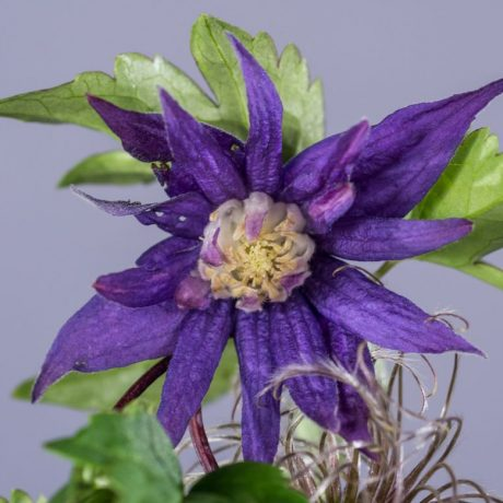 Akelei-Waldrebe Purple Spider / Clematis macropetala Purple Spider