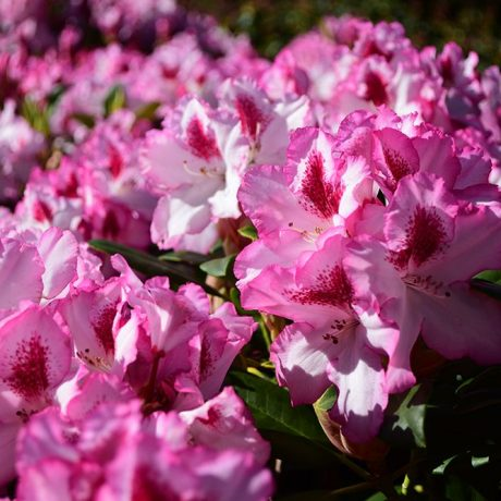 Rhododendron Hachmanns Charmant ®