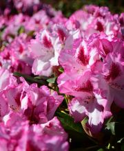Rhododendron Hachmanns Charmant ®, Rhododendron Hachmanns Charmant ®
