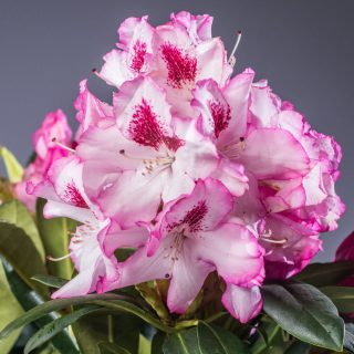 Rhododendron Hachmanns Charmant ® / Rhododendron Hachmanns Charmant ®