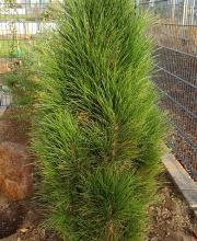Schwarzkiefer Green Tower, Pinus nigra Green Tower