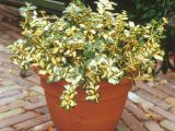 Goldherzige Kriechspindel Blondy, Euonymus fortunei Blondy