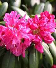 Rhododendron Helgoland