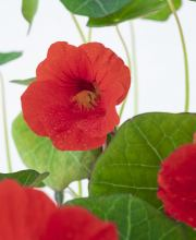 Kapuzinerkresse Red Wonder