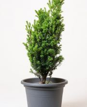 Spalier-Eibe Straight Hedge, Taxus media Straight Hedge