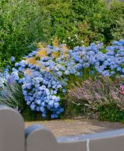 Gartenhortensie Endless Summer, Hydrangea macrophylla Endless Summer, rosa