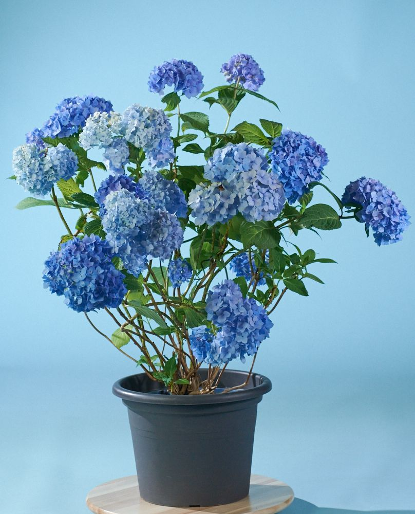 Gartenhortensie Endless Summer - Hydrangea macrophylla Endless ...