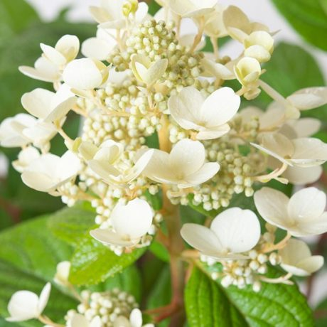 Rispenhortensie Early Sensation / Hydrangea paniculata Early Sensation
