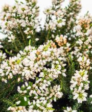 Grauheide Alba Major, Erica cinerea Alba Major
