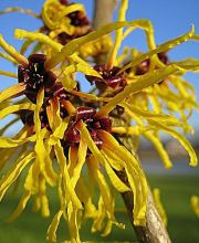 Zaubernuss Barmstedts Gold, Hamamelis interm. Barmstedts Gold
