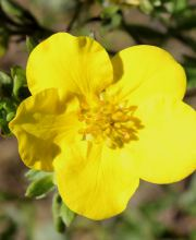 Fingerstrauch Darts Golddigger, Potentilla fruticosa Darts Golddigger
