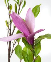 Purpurmagnolie Betty, Magnolia liliiflora Betty