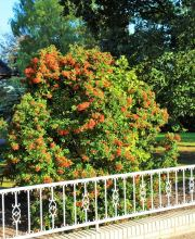 Feuerdorn Red Column, Pyracantha Red Column