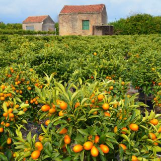 Calamondin-Orange a Italia