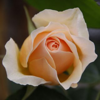 Kletterrose 'Ginger Syllabub'  -R- / Rosa 'Ginger Syllabub'  -R-             KL
