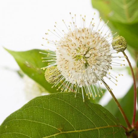 Knopfbusch / Cephalanthus occidentalis