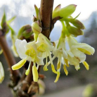 Winter-Heckenkirsche / Lonicera purpusii