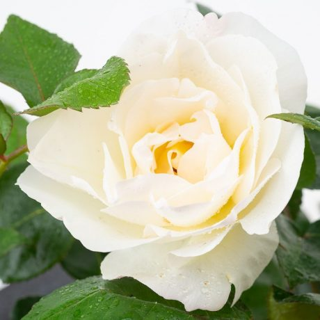 Rose Grand Nord