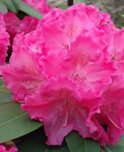 Rhododendron Hybride Germania