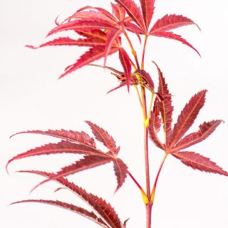 Fächerahorn Red Pygmy / Acer palmatum Red Pygmy