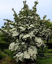 Japanischer Hartriegel China Girl, Cornus kousa chinensis China Girl