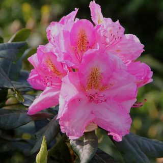 Rhododendron Mrs.T.H.Lowinsky / Rhododendron Hybride Mrs.T.H.Lowinsky