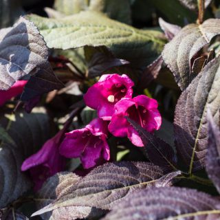 Dunkelrotblättrige Weigelie Minor Black® / Weigela florida Minor Black®