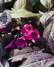 Dunkelrotblättrige Weigelie®, Weigela florida Minor Black®