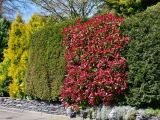 Glanzmispel Red Select, Photinia fraseri Red Select