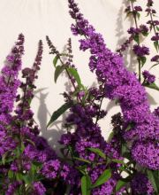 Sommerflieder Border Beauty, Buddleja davidii Border Beauty