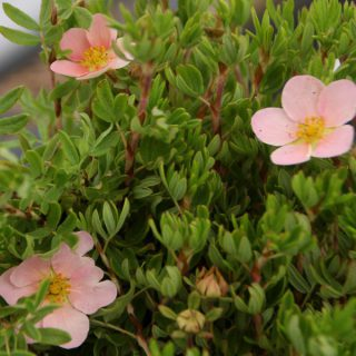 Fingerstrauch Royal Flush / Potentilla fruticosa Royal Flush
