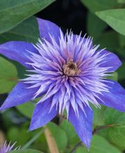 Waldrebe Multi Blue, Clematis Hybriden Multi Blue