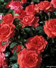 Rose Orange Juwel ®, Rosa Orange Juwel ®