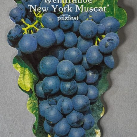 Tafeltraube New York Muscat / Vitis New York Muscat