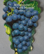 Tafeltraube New York Muscat, Vitis New York Muscat