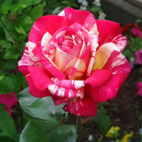 Rose Broceliande Edelrose Nirp