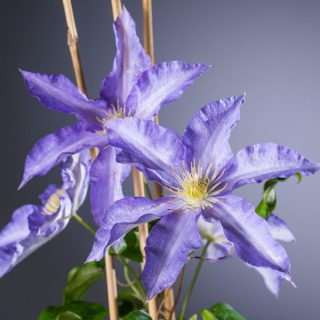 Waldrebe Anna German / Clematis Anna German