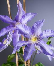 Waldrebe Anna German, Clematis Anna German