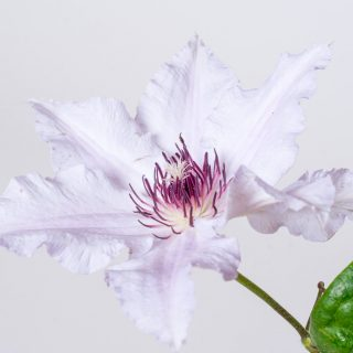 Waldrebe Snow Queen / Clematis Snow Queen