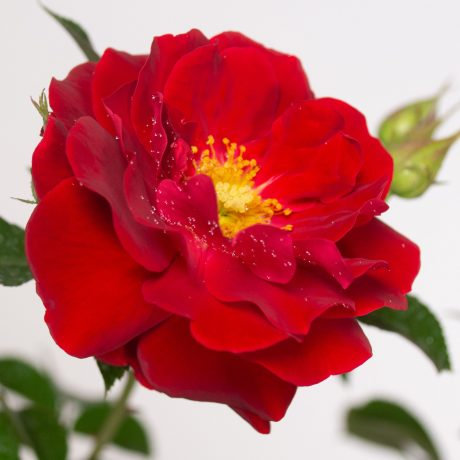 Rose Mainaufeuer ®