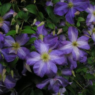 Italienische Waldrebe Jenny / Clematis viticella Jenny